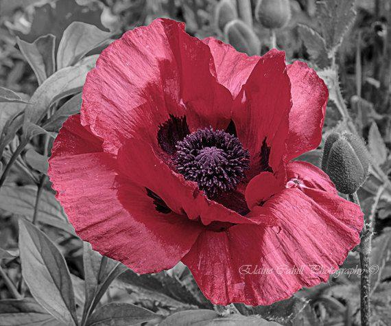 Colour splash Poppy. by peridotphotography on Etsy, €22.00
