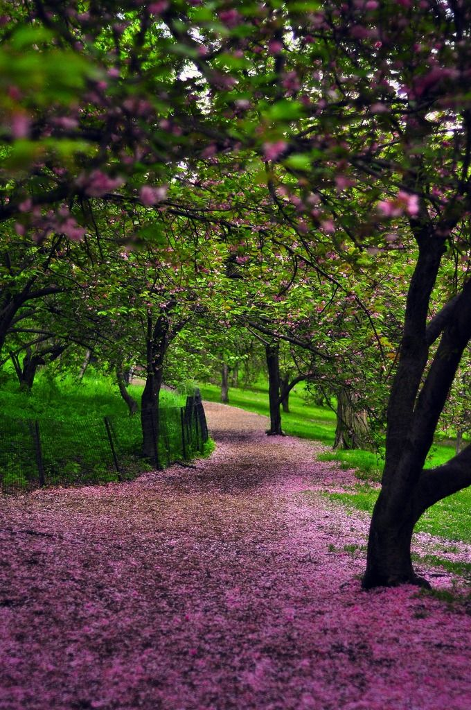 blossom runner: Cherries Blossoms, Paths, Walks, Purple, Color, Cherries Trees, Central Parks, So Pretty, Flower