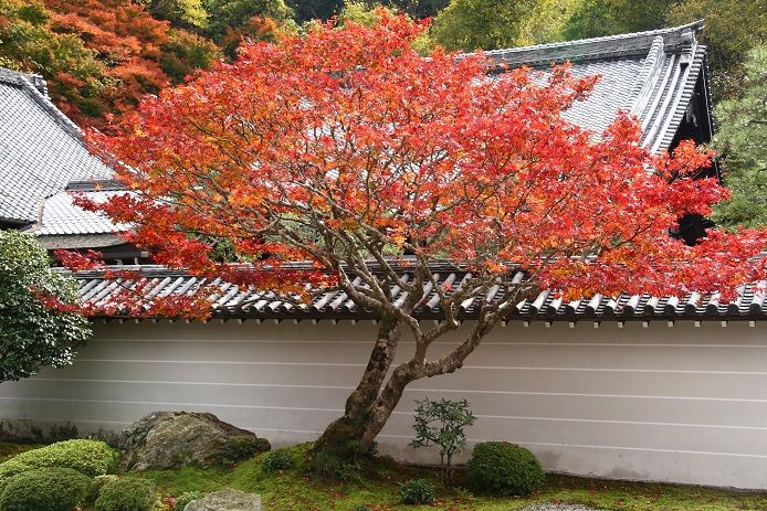 how to take care japanese maple tree