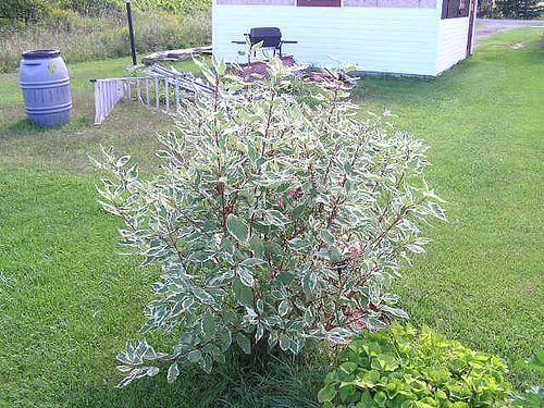 Silver Leaf Dogwood Aka Red Twig Dogwood Front