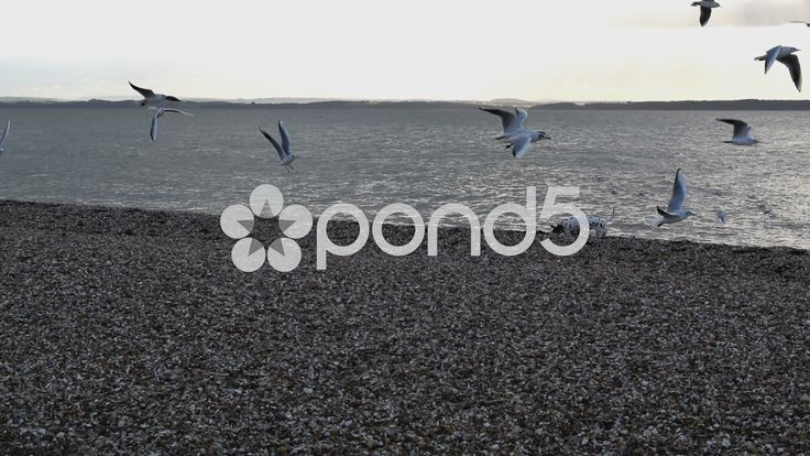 A colony of Seagulls at a stoney beach, scared off by a dog - Stock Footage | by glenman77