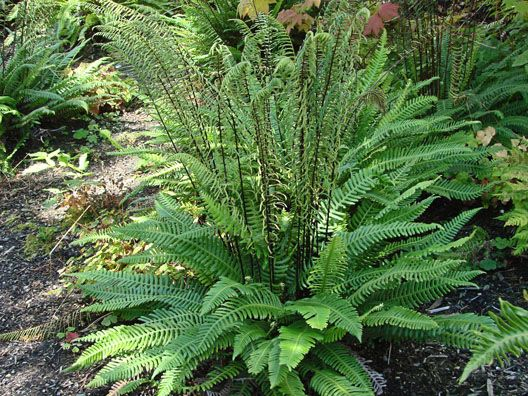 "Blechnum spicant ""Deer Fern"" Height ranges from 8-20"" depending on the season, & the width of a mature clump is around 3' CA NATIVE"