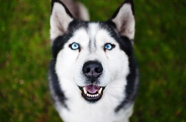 Huskies Have Blue Eyes Good Training Dogs Husky Dog Names Dogs