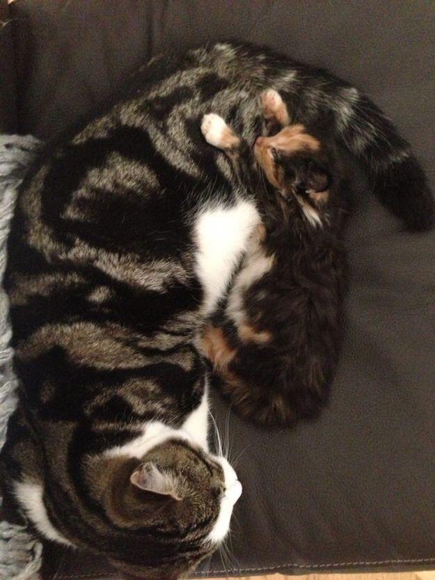 kittens seizures