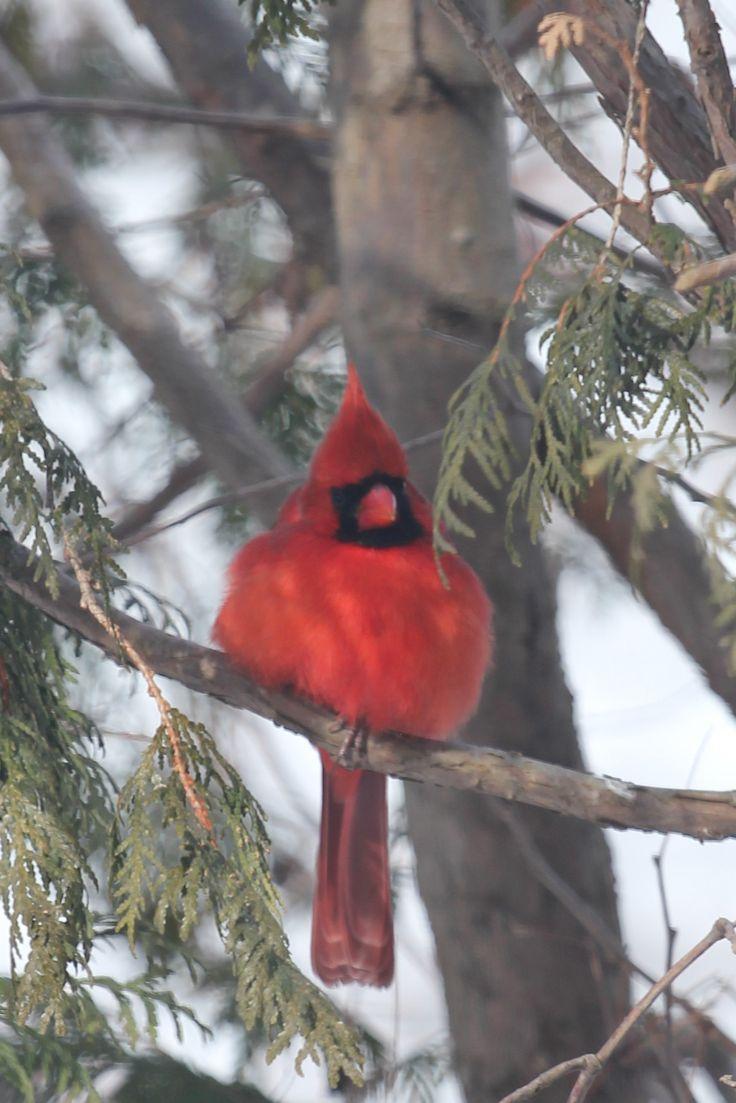 Best 25 red cardinal meaning ideas on pinterest cardinal birds cardinal buycottarizona