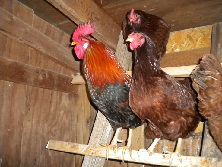Common foods and table scraps you should and shouldn't feed your chickens to supplement their regular diet.