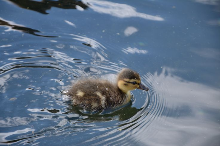 Cute duckling near Lomonosov state university in Moscow.