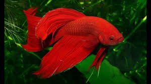 Resultado de imagem para peixes de aquario pequeno