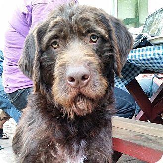 German Wirehaired Pointer/Schnauzer (Giant) Mix Dog for adoption in Minneapolis, Minnesota - KitKat