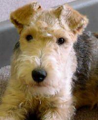 lakeland terrier puppy!