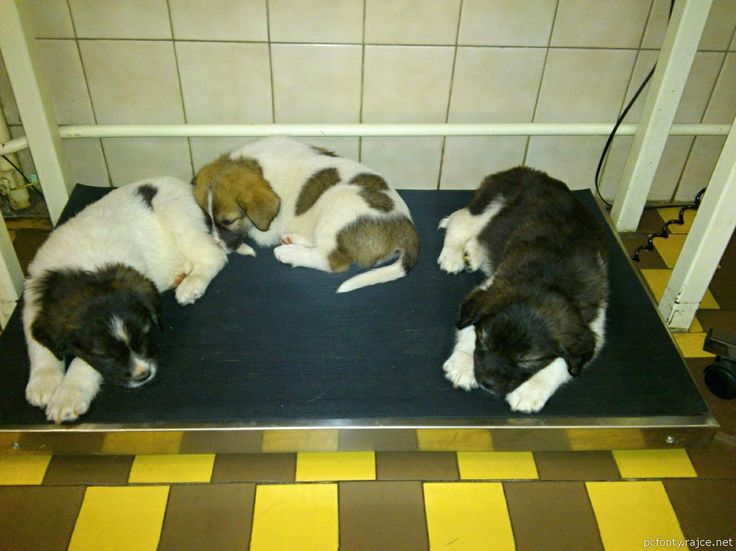 Tired sweet dogs :-) Waiting for vaccination in veterinary surgery II.