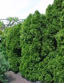 Everything You Need to Know About Using Arborvitae Trees in Landscaping