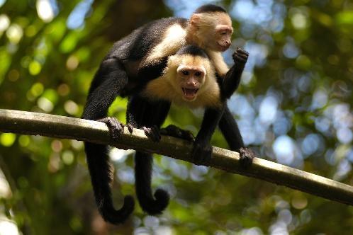 white face monkeys on branch tortuguero - Costa Rica