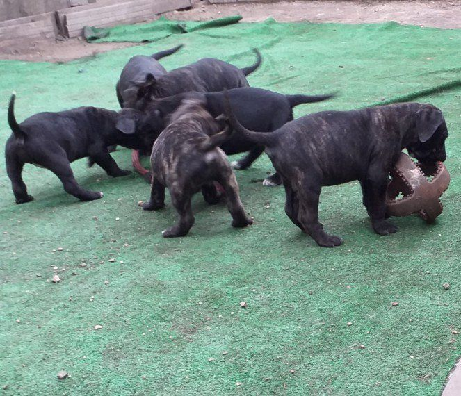 Kuwait Dogs And Puppies Adoption And Sales Email Us At Khaleelsalafi Hotmail Com Cane Corso Pupp Cane Corso Puppies Puppy Adoption Rottweiler Puppies For Sale