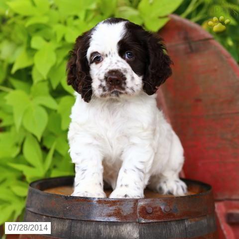 Cocker Spaniel Puppy for Sale in Pennsylvania