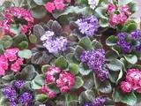 Indoor plants - African Violets