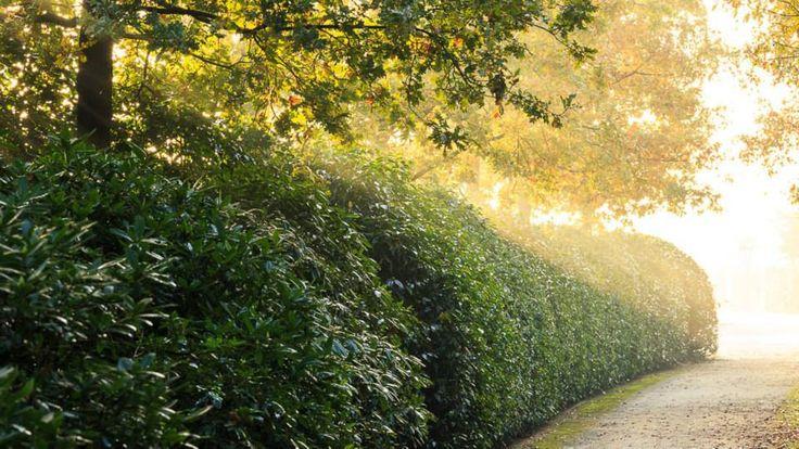 Hedge of Ilex Aquifolium Van Tol (Hulst).