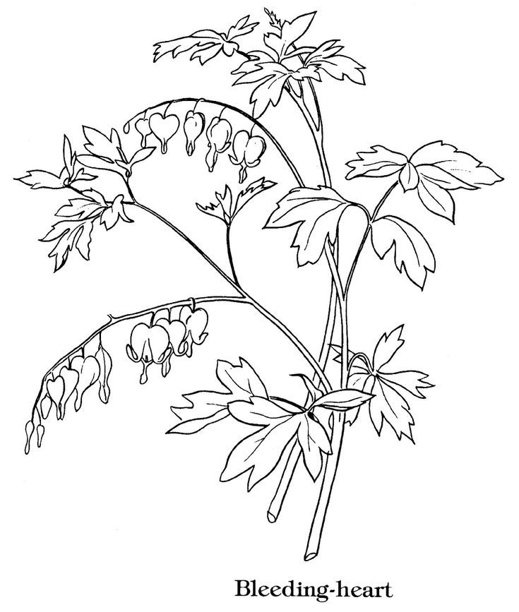Bleeding Heart Coloring Pages Flower Line Drawings Heart Coloring Pages Bleeding Heart