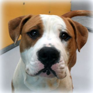 *CHUBBY-ID#A708651    Shelter staff named me CHUBBY.    I am a male, brown and white Pit Bull Terrier mix.    The shelter staff think I am about 1 year old.    I have been at the shelter since Apr 07, 2013.