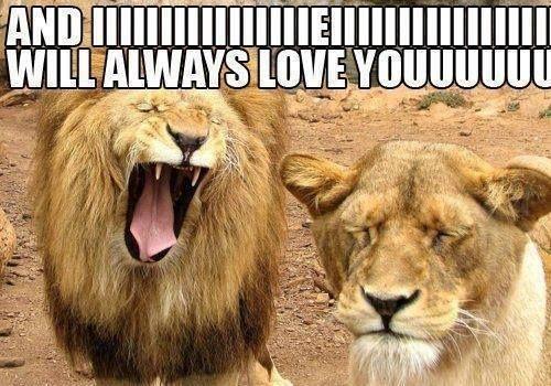 Funny lion meme - http://jokideo.com/funny-lion-meme/