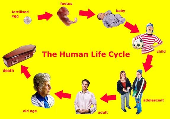 Showing Stages Of A Human Life Cycle Pictures ...