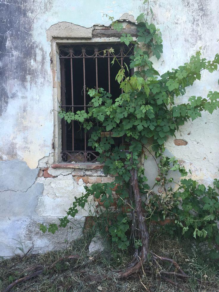 Vecchio casale Cortiglione Piemonte, con una pianta di vite di oltre 100 anni