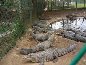 La Procuraduría Federal de Protección al Ambiente (Profepa) aseguró 3 mil 338 ejemplares de cocodrilo de pantano en Tabasco, debido a que los reptiles no contaban con el sistema de marcaje autorizado por la Semarnat. En un comunicado, la dependencia explicó que la acción fue resultado del Programa Operativo Anual 2016 de Inspección a […]