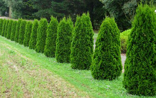 Thuja occidentalis 39 smaragd 39 farm trees pinterest more thuja occidentalis and gardens ideas - Thuja smaragd growth rate ...