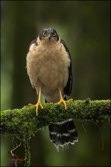 Bicoloured Hawk (Accipiter bicolor) perched on a branch
