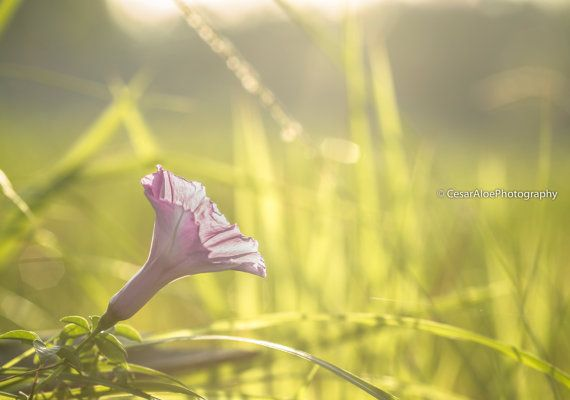 Purple lonely flower enjoying a sunbath with a green grass background. I made this photo just after sunrise in the rice fields of Ubud, Bali. In this case I used a macro lens so you can see it in a large scale with great details and textures.