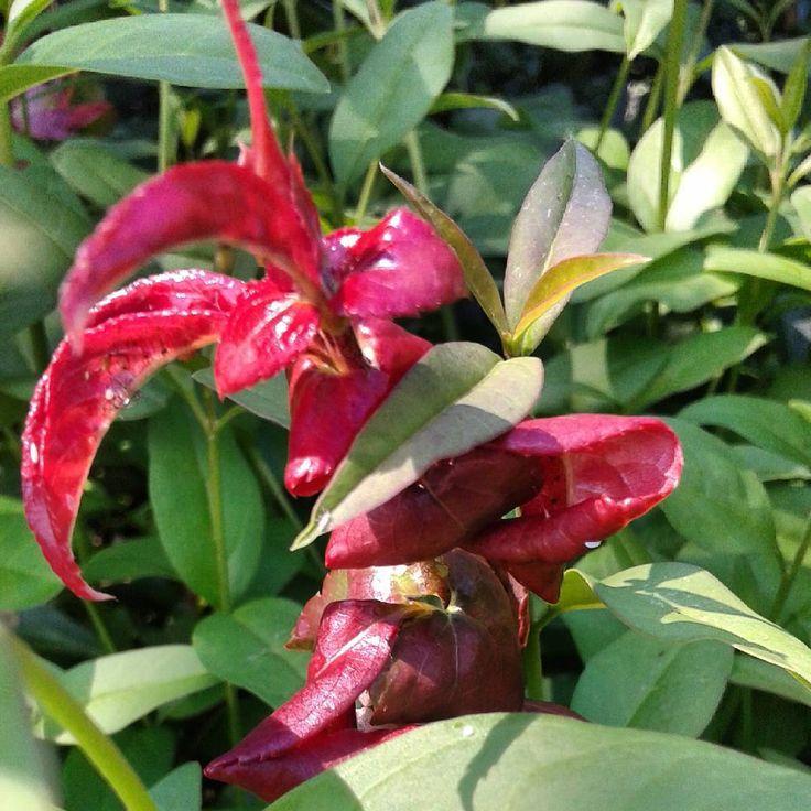 Liście mogą też być piękne#liście#kolorowe#czerwień#zieleń #przyroda #leaf #red #green #nature