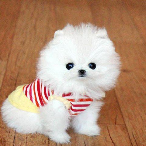 https://www.facebook.com/leovandesign   #dog #white #cute #puppy