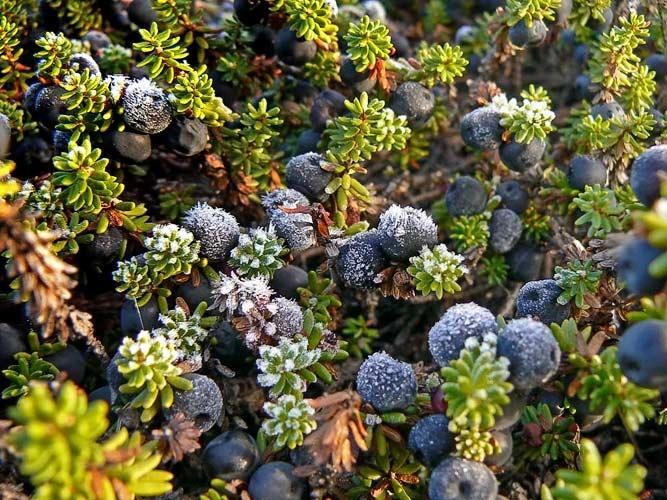 Jäiset variksenmarjat. So beautifully frozen berries (Empetraceae hermaphroditum) Finland