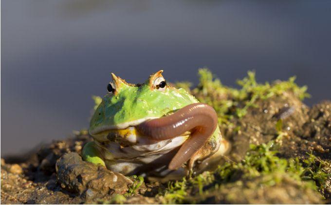 クランウェルツノガエルの種類と飼育方法を紹介 寿命や値段の相場はどのくらい Woriver 寿命 カエル 給餌