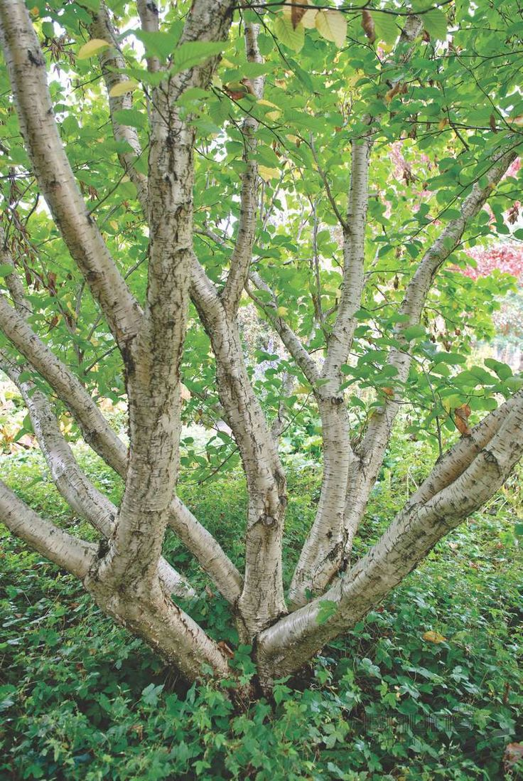 Betula medwediewii, amazing low vase shaped multi stemmed birch to group with (under) single stem birch 'grove'