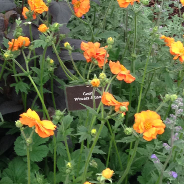 A delightful little geum.