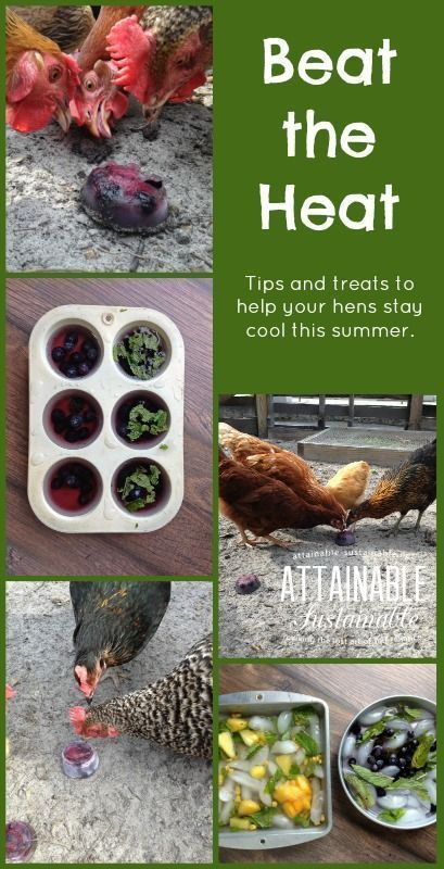 Looking for a way to keep your chickens cool in the summertime heat? Here are some ideas for you!
