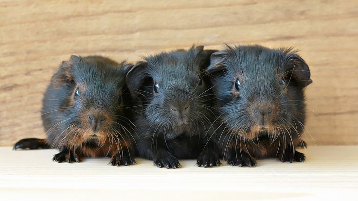 SIKANTISPETS: What you need to know before adopting guinea pigs....