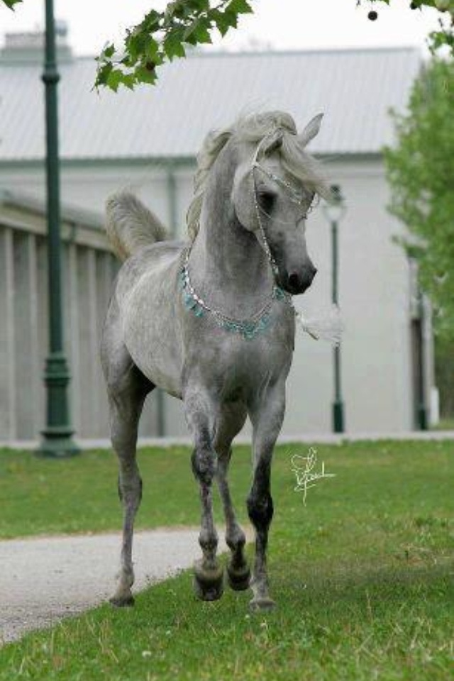Arabian Mare, Poetry in motion. Beautiful teal beads and sterling silver halter and neck chain.