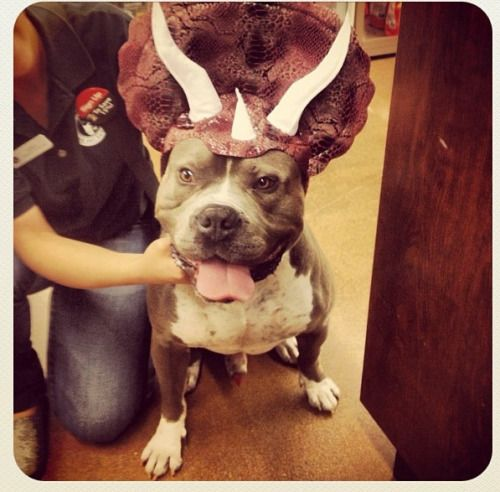 veggiexxiv:  My brother is buying his dog a pet costume! Hes so...#pitbulls #dog breeds #canine pet #dogs #pitbull puppy