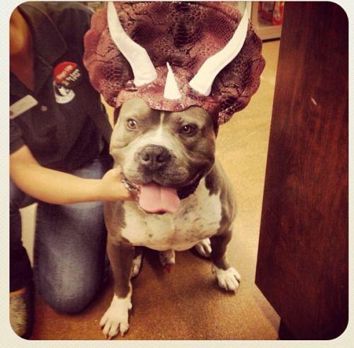 Best 25+ Pitbull costumes ideas on Pinterest   Pitbull ...