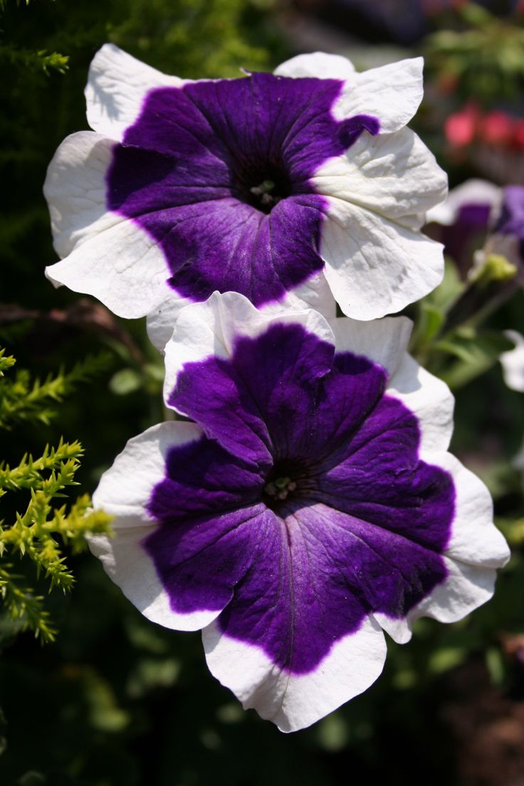Petunia...great for hanging basket, partial shade in sunny Singapore.