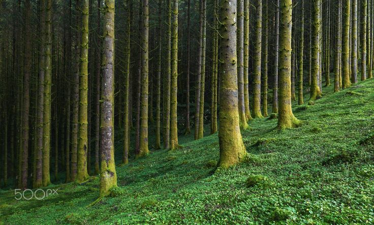 Into The Forest - Into the forest, pine trees on a carpet of clovers.