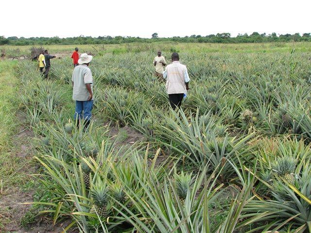 Pineapple farm in Uganda