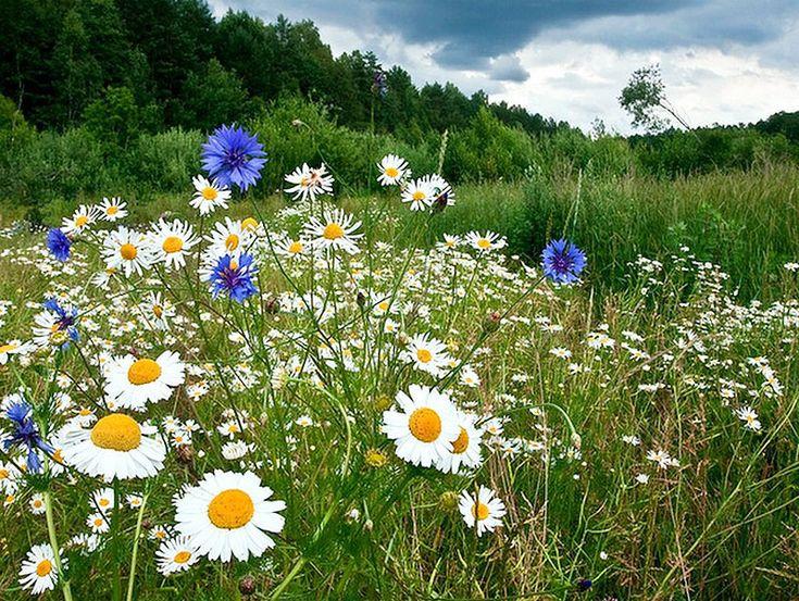Полевые цветы полевые васильки и ромашки в лугах, цветы