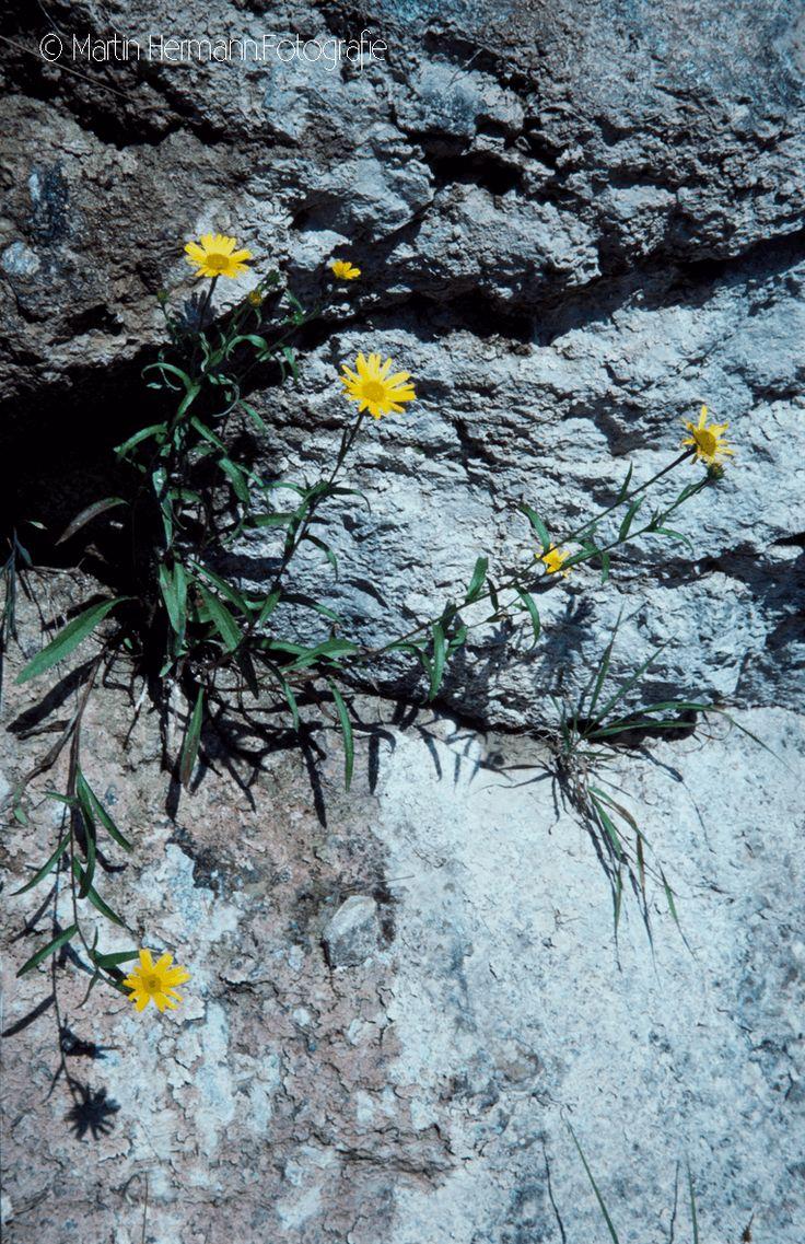 Ochsenauge-Buphthalmum-salicifolium-(Sonnberg-Thiersee)