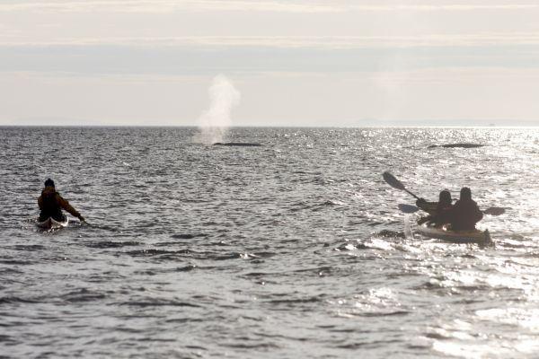 Entendez-vous le souffle des baleines ? Découverte de rorquals, phoques ou cormorans en kayak de mer