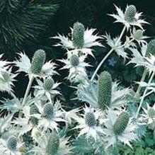 Silvermartorn 'Miss Wilmot's Ghost' Eryngium giganteum, Fjärilsväxter, fjärilsträdgård, butterfly garden plant