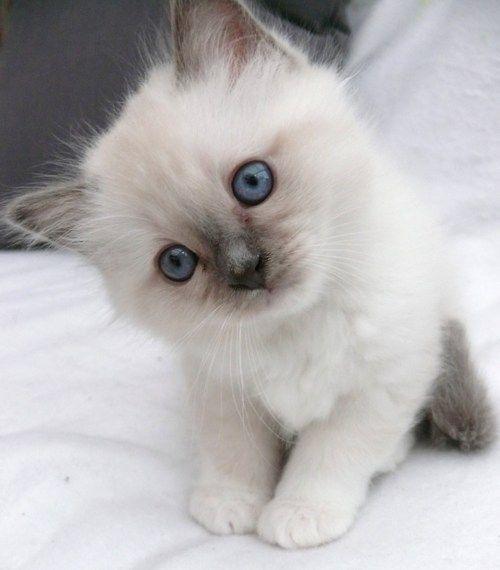 Blue eyed beauty - my favorite kind of kitty. <3