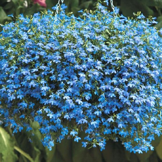 Plants For Hanging Baskets Try Lobelia Blue Carpetflower